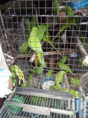 Well Healthy Parakeet And Love Bird | Birds for sale in Lagos State