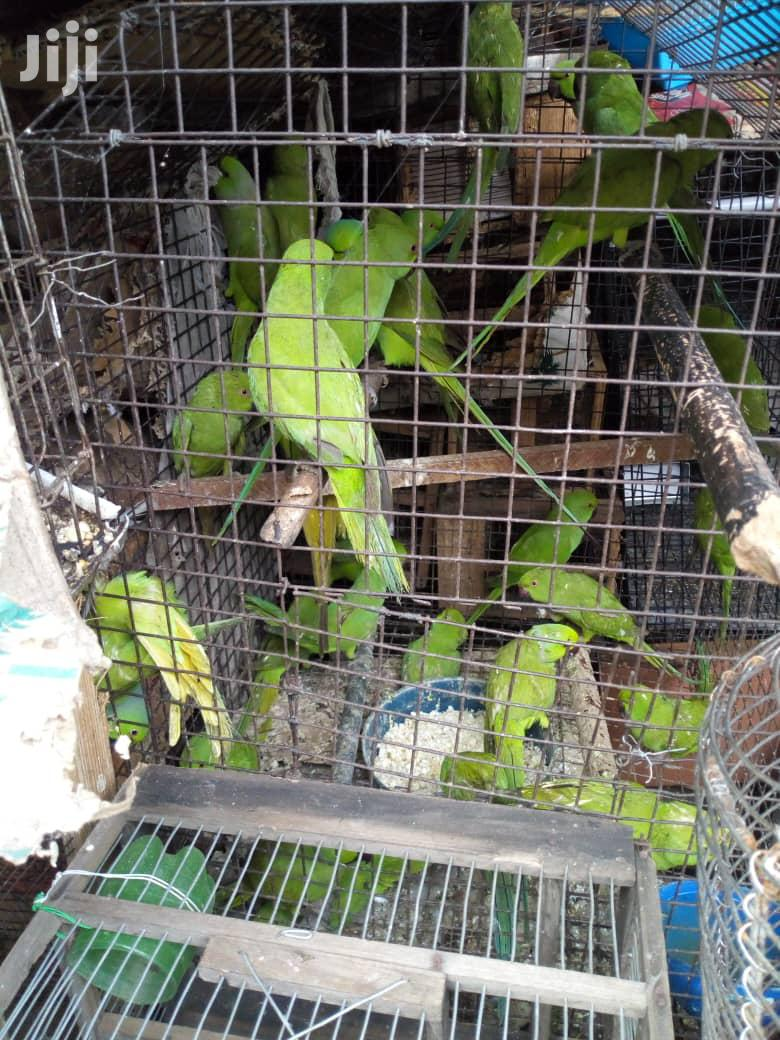 Well Healthy Parakeet And Love Bird