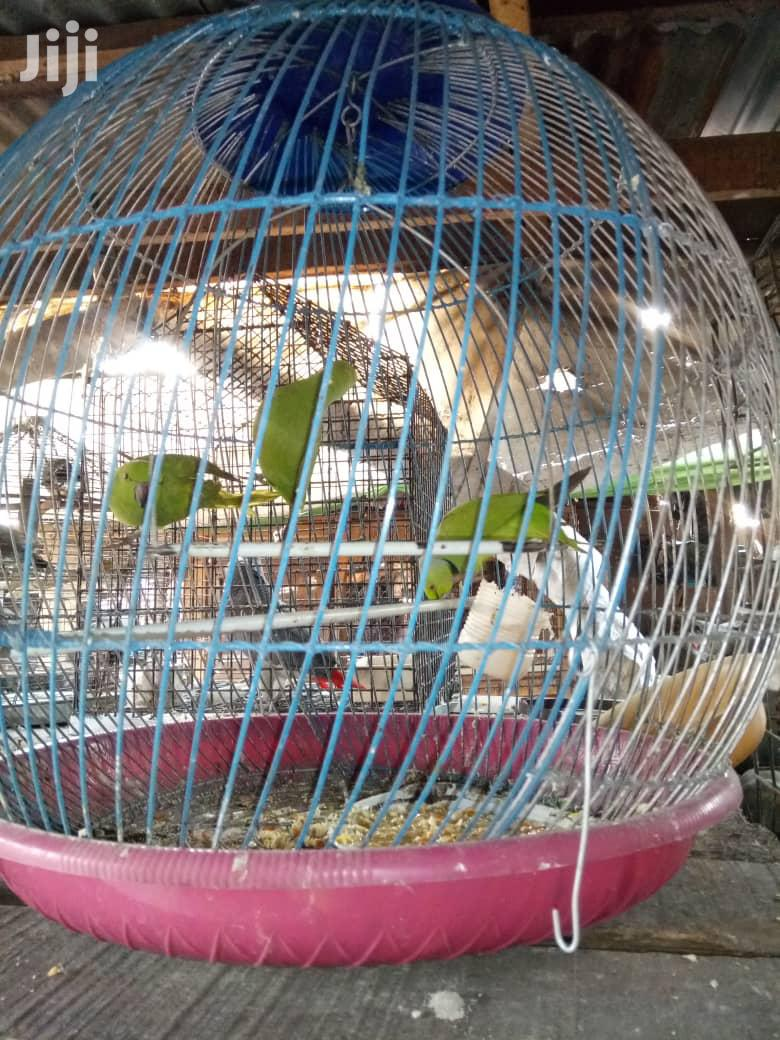 Well Healthy Parakeet And Love Bird | Birds for sale in Lagos State, Nigeria