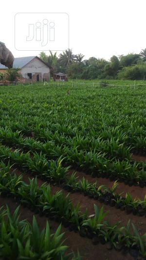 Improved Hybrid Supergene Oil Palm Seedlings For Sale   Meals & Drinks for sale in Oyo State, Ibadan