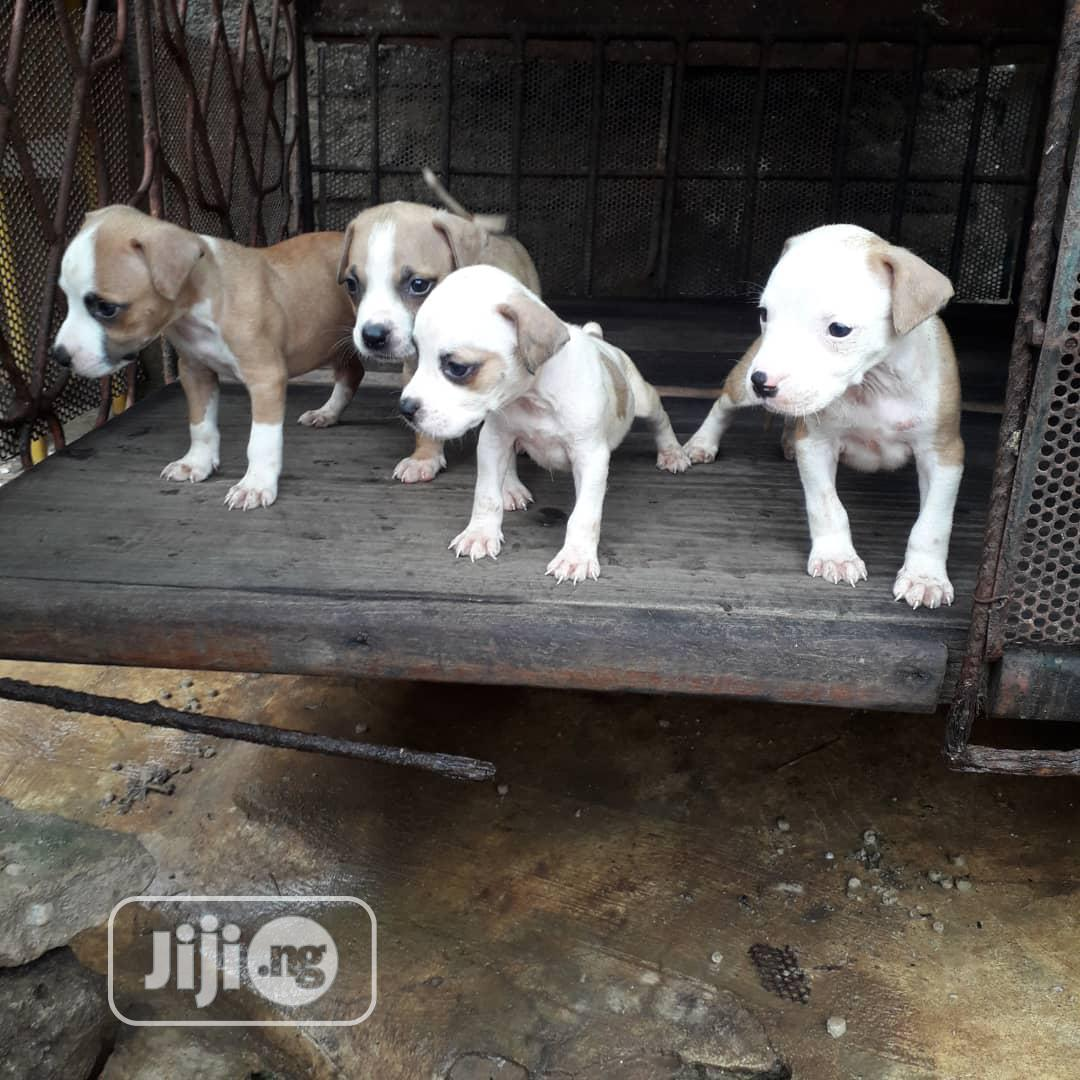 Top Dog American Pitbull Terrier Dog Puppy Puppies For Sale In Victoria Island Dogs Puppies All Things Pets Ng Jiji Ng