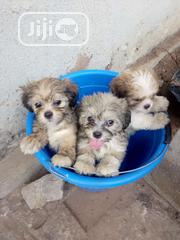 Fluffy Cute Lhasa Apso Indoor Pet Dog Puppy / Puppies For Sale   Dogs & Puppies for sale in Lagos State, Victoria Island