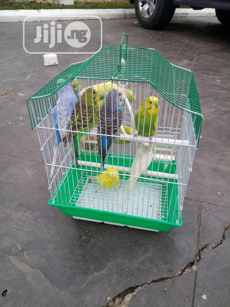 Healthy Budgie Is Available