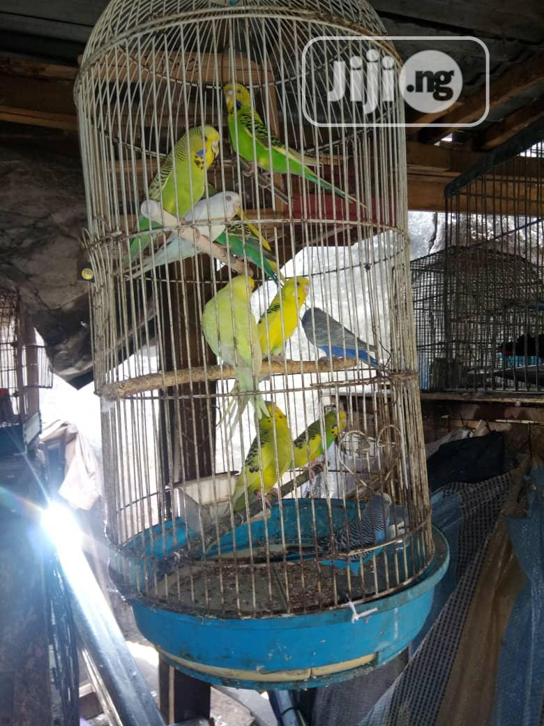 Healthy Budgie Is Available | Birds for sale in Surulere, Lagos State, Nigeria