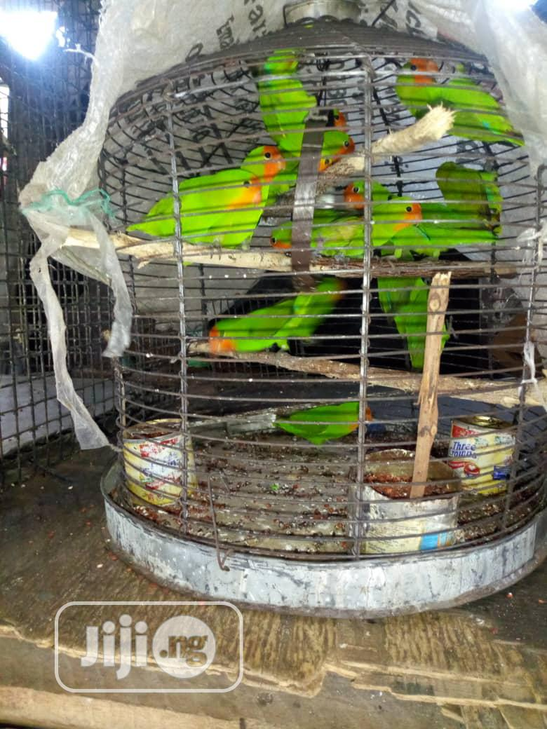 Male And Female Love Parrot For Sale | Birds for sale in Lagos Island, Lagos State, Nigeria