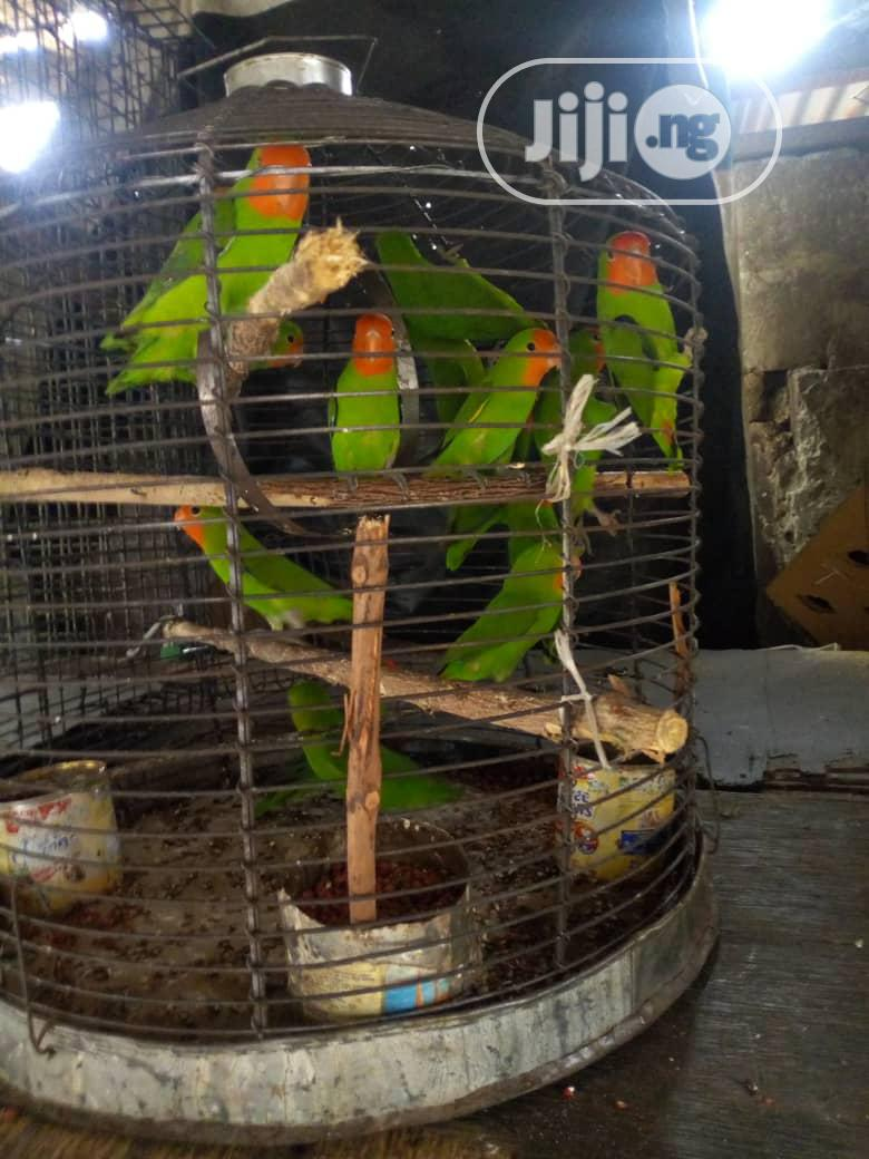 Male And Female Love Parrot For Sale