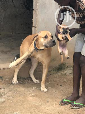 A Very Good Boerboel Available Both Male and Female   Dogs & Puppies for sale in Lagos State, Surulere