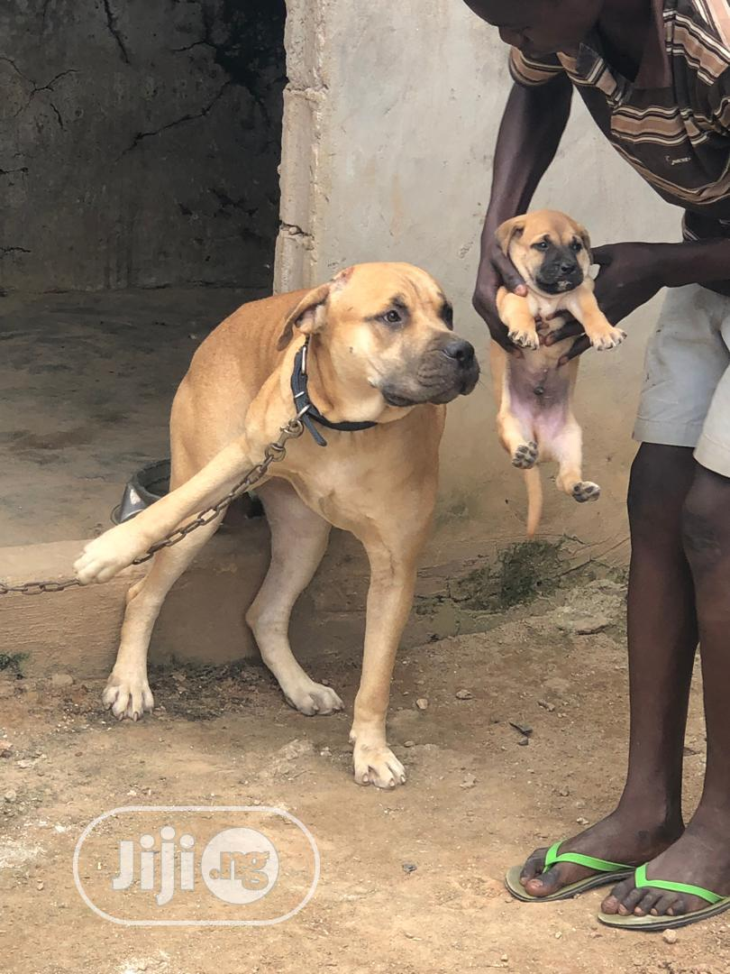 A Very Good Boerboel Available Both Male and Female