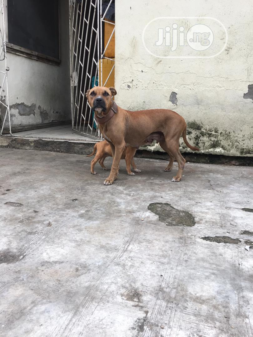 A Very Good Boerboel Available Both Male and Female   Dogs & Puppies for sale in Surulere, Lagos State, Nigeria