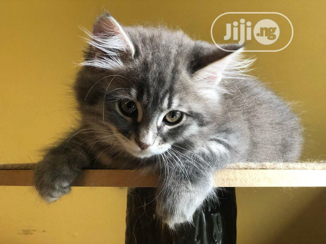 Young Male Purebred Siberian | Cats & Kittens for sale in Lekki, Lagos State, Nigeria