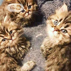 Young Male Purebred Persian | Cats & Kittens for sale in Lagos State, Lekki