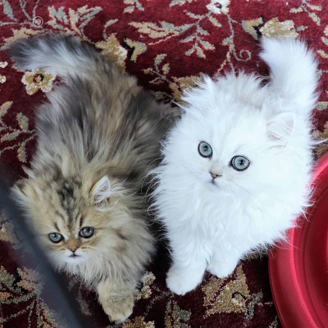 Young Male Purebred Persian | Cats & Kittens for sale in Lekki, Lagos State, Nigeria