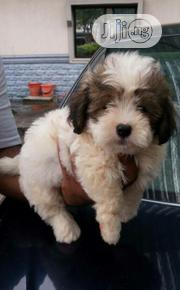 Fluffy Cute Lhasa Apso Indoor Pet Dog Dog Puppy / Puppies For Sale   Dogs & Puppies for sale in Lagos State, Ajah