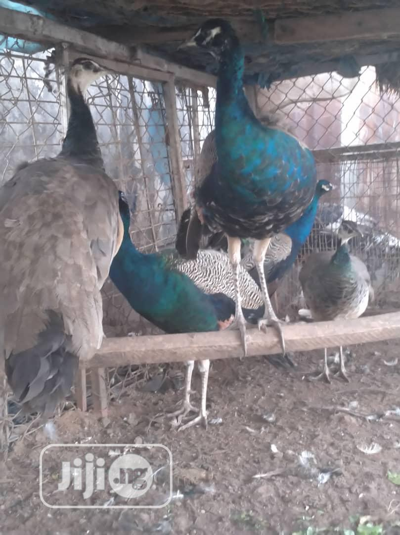 Peacock For Sale | Birds for sale in Lagos State, Nigeria
