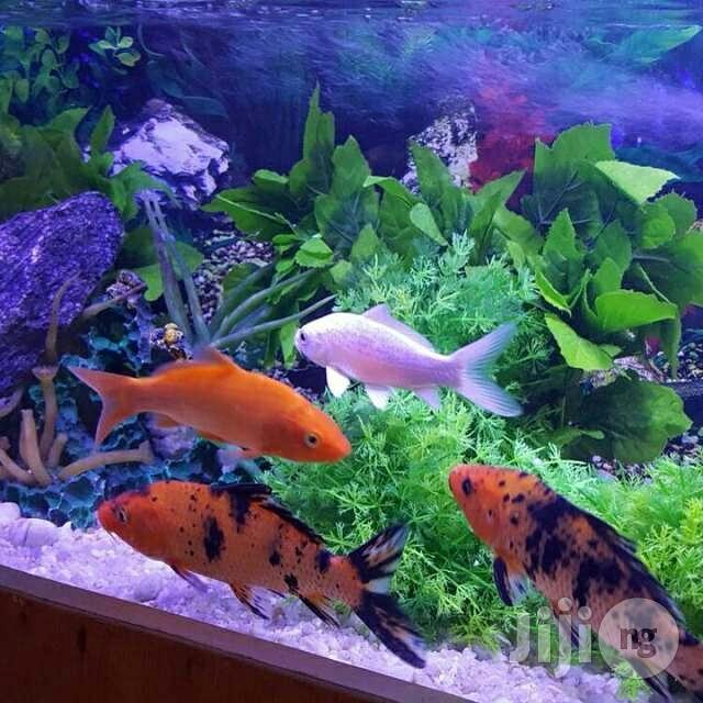 Archive: Japanese Koi Fish
