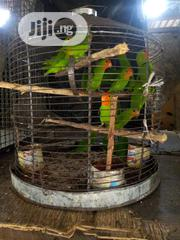 Male And Female Parakeet For Sale | Birds for sale in Lagos State, Lagos Island