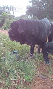 For Stud Services Only | Dogs & Puppies for sale in Enugu State, Enugu