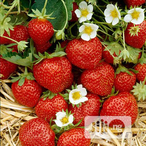 Fresh Strawberry Fruit Always In Season Jan To Dec