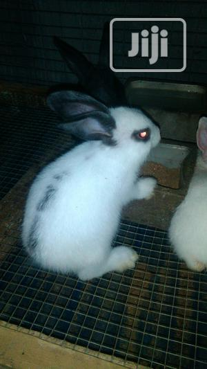 Rabbit Farming White   Livestock & Poultry for sale in Lagos State, Surulere