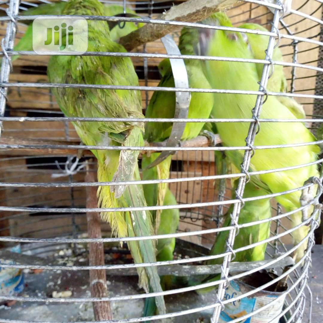 Pair Parakeet For Sale | Birds for sale in Lagos Island, Lagos State, Nigeria