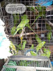Pair Parakeet For Sale | Birds for sale in Lagos State, Lagos Island