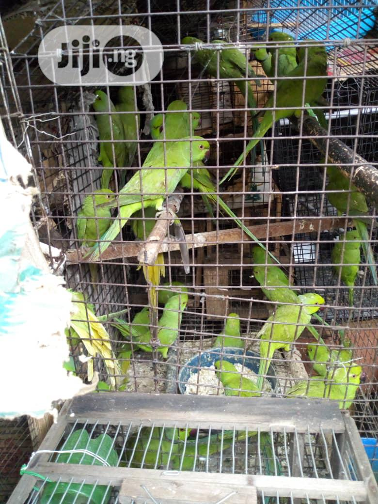 Pair Parakeet For Sale