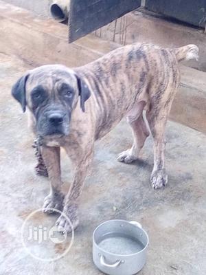 Adult Male Purebred Boerboel   Dogs & Puppies for sale in Lagos State, Ikorodu