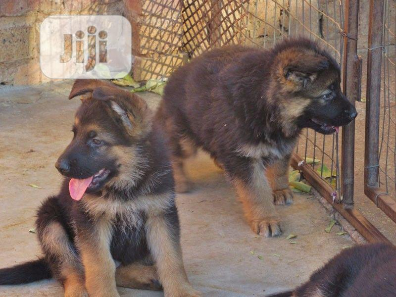 Pure German Shepherd Puppies Available | Dogs & Puppies for sale in Isolo, Lagos State, Nigeria