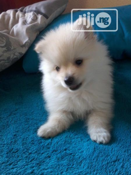 Young Male Purebred Pomeranian | Dogs & Puppies for sale in Surulere, Lagos State, Nigeria