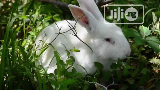 Mature Rabbit Bunny in Abuja
