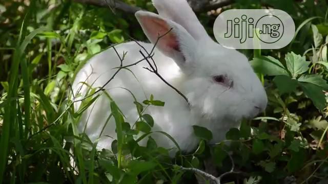 Mature Rabbit Bunny in Abuja | Livestock & Poultry for sale in Bwari, Abuja (FCT) State, Nigeria