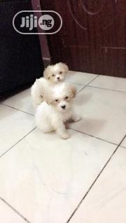 Super Cute Lhasa Apso Indoor Pet Dog Puppy / Puppies Male Female Sale   Dogs & Puppies for sale in Abuja (FCT) State, Wuye