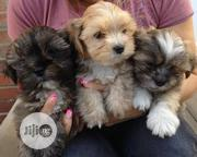 Super Cute Lhasa Apso Indoor Pet Dog Puppy / Puppies Male Female Sale   Dogs & Puppies for sale in Abuja (FCT) State, Wuse 2