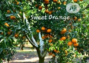 Sweet Orange Seedling for Sale | Feeds, Supplements & Seeds for sale in Oyo State, Ibadan