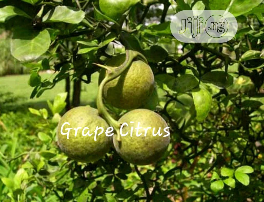 Grape (Citrus) Seedling For Sale