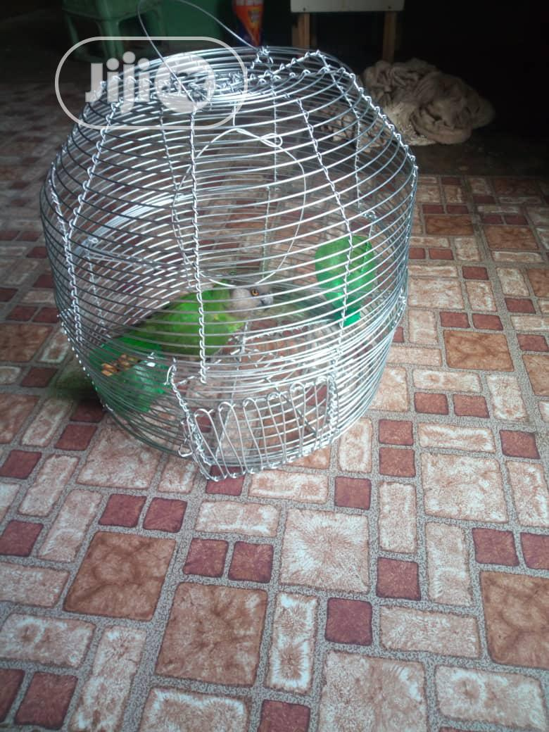 Sanegal Parrot Bird | Birds for sale in Alimosho, Lagos State, Nigeria