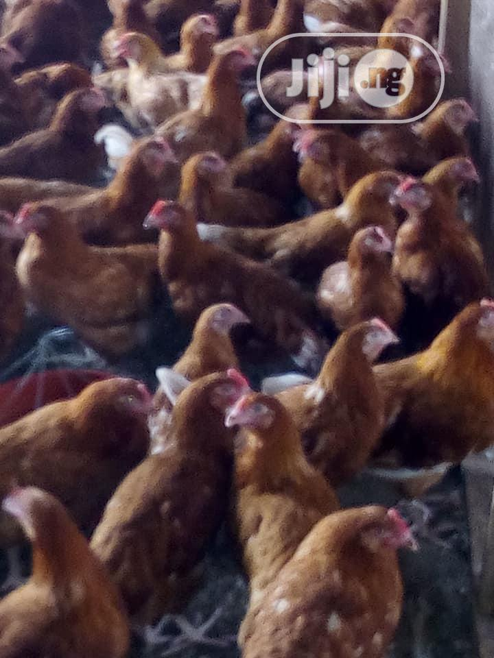 Point Of Lay ISA Brown Layers | Livestock & Poultry for sale in Ibadan, Oyo State, Nigeria