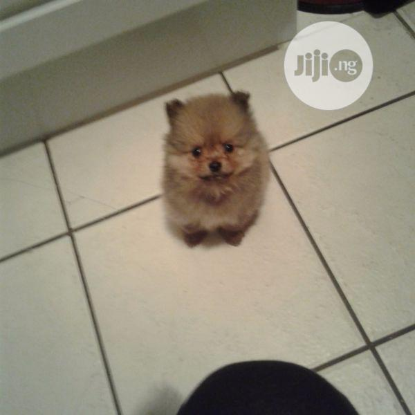 1-3 Month Female Purebred Pomeranian | Dogs & Puppies for sale in Isolo, Lagos State, Nigeria