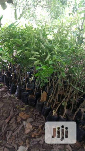 Improved Cashew, Budded Sweet Orange, Dwarf Pawpaw Seedlings Available | Feeds, Supplements & Seeds for sale in Oyo State, Ibadan