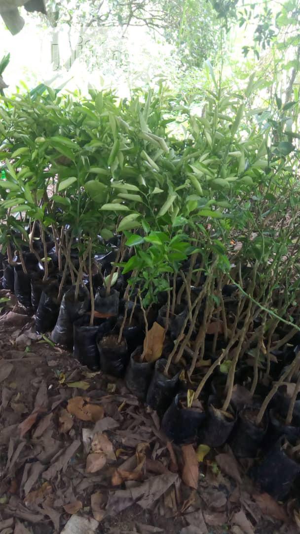 Improved Cashew, Budded Sweet Orange, Dwarf Pawpaw Seedlings Available