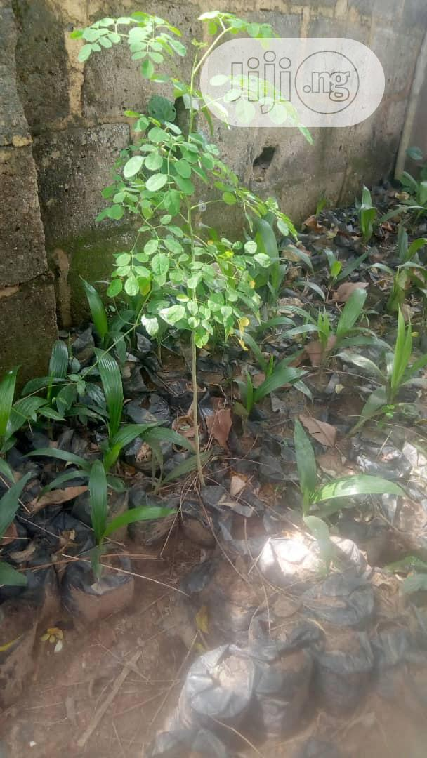 Improved Cashew, Budded Sweet Orange, Dwarf Pawpaw Seedlings Available   Feeds, Supplements & Seeds for sale in Ibadan, Oyo State, Nigeria
