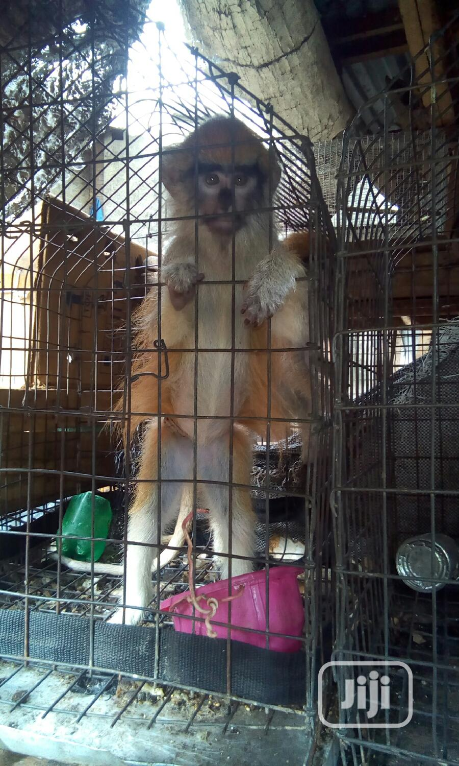 Well Treated Monkey | Other Animals for sale in Surulere, Lagos State, Nigeria
