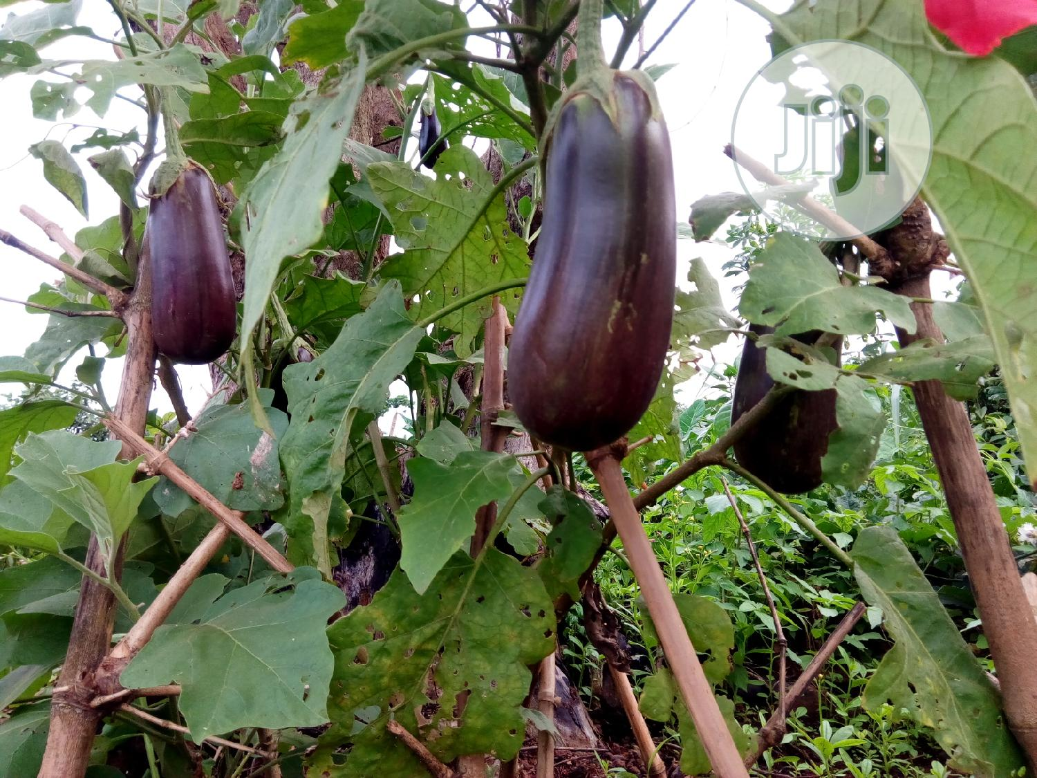 Archive: Egg Plant For Sale