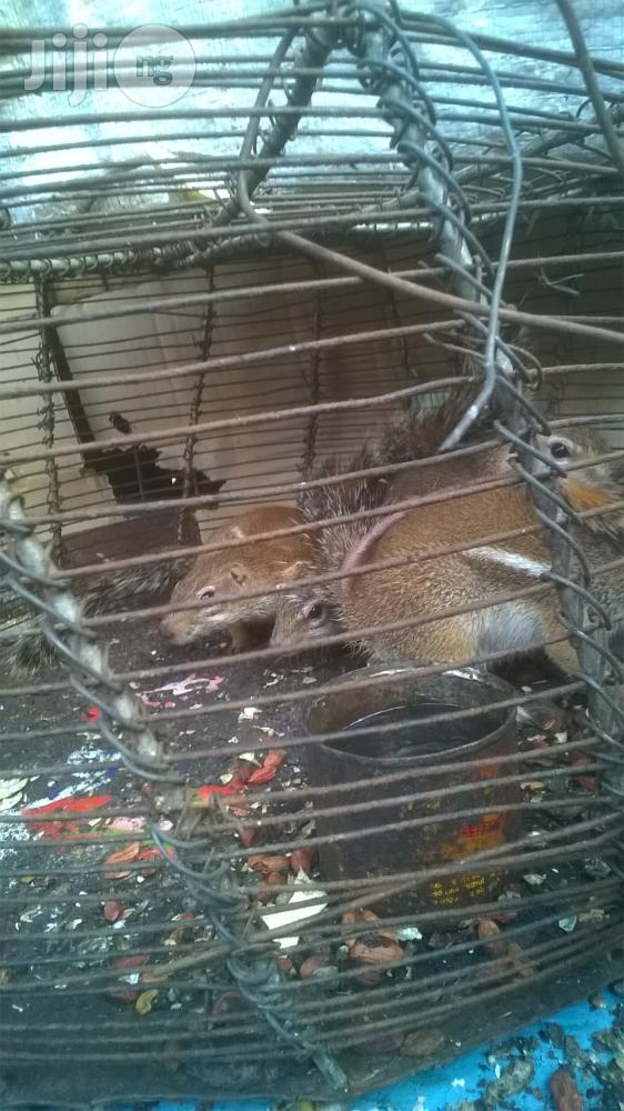 Squirrel For Sale | Other Animals for sale in Lagos State, Nigeria