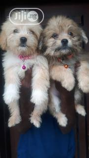 Super Cute Lhasa Apso Indoor Pet Dog Puppy / Puppies Male Female Sale   Dogs & Puppies for sale in Oyo State, Ibadan