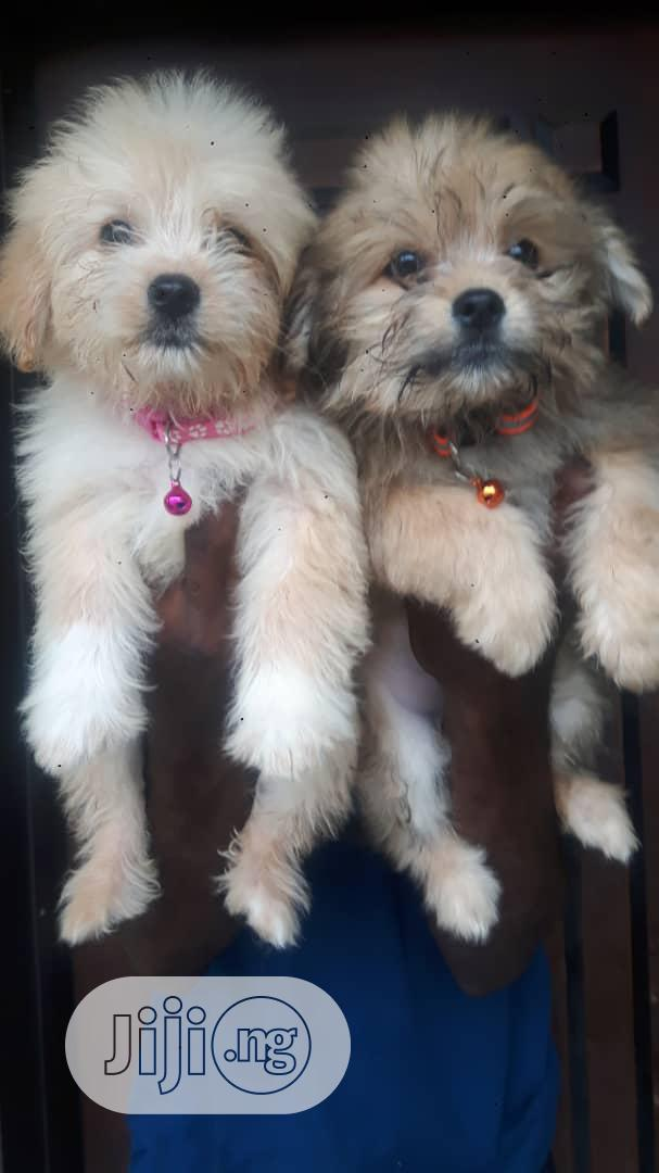 Super Cute Lhasa Apso Indoor Pet Dog Puppy Puppies Male Female Sale In Ibadan Dogs Puppies All Things Pets Ng Jiji Ng