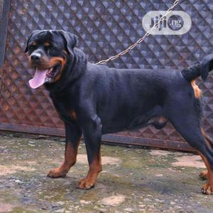 1+ Year Male Purebred Rottweiler   Dogs & Puppies for sale in Edo State, Benin City