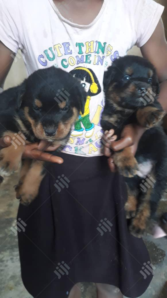Baby Male Purebred Rottweiler | Dogs & Puppies for sale in Surulere, Lagos State, Nigeria