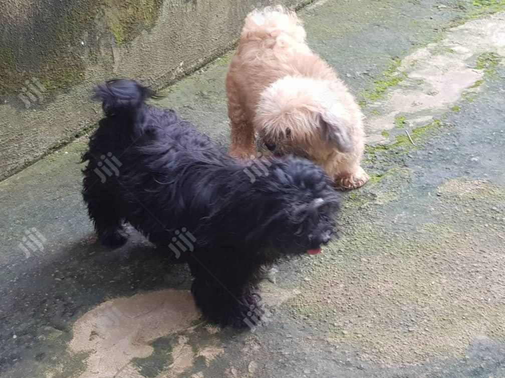 Male Lhasa Apso's For Stud/Mating Service