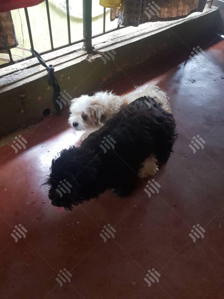 Male Lhasa Apso's For Stud/Mating Service | Pet Services for sale in Alimosho, Lagos State, Nigeria